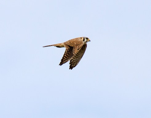 American Kestrel in Flight2