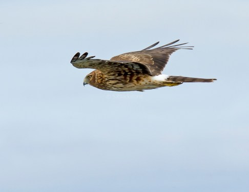 Northern Harrier Cruises By