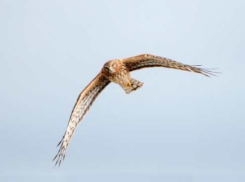 Northern Harrier Up Close