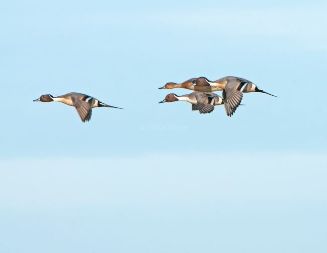 Northern Pintails in Flight1