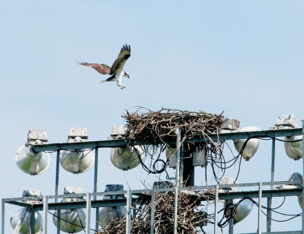Long shot of female arriving at the nest