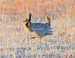 Prairie Chicken Drumming3
