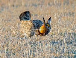 Prairie Chicken Drumming2