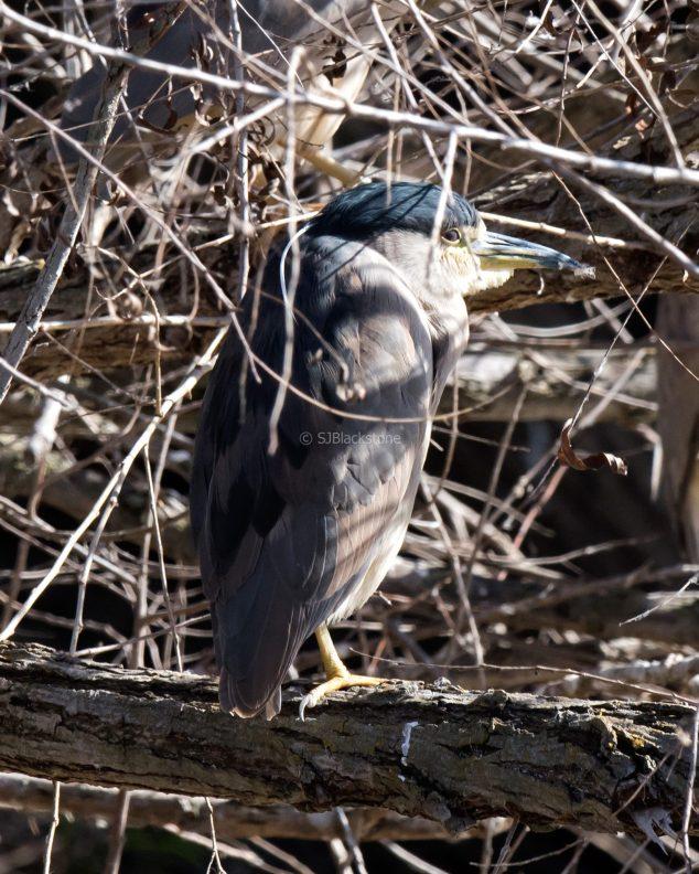 Black-Crowned Night Heron1
