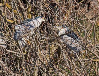 Black-Crowned Night Heron3
