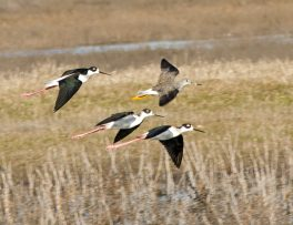 Black-Necked Stilts and Yellowlegs