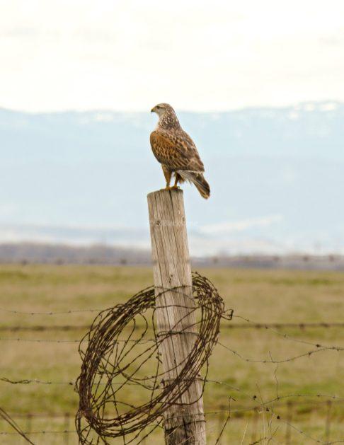 Ferruginous Hawk2