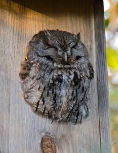 Neighborhood Screech Owl3
