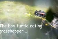turtle eating grasshopper food