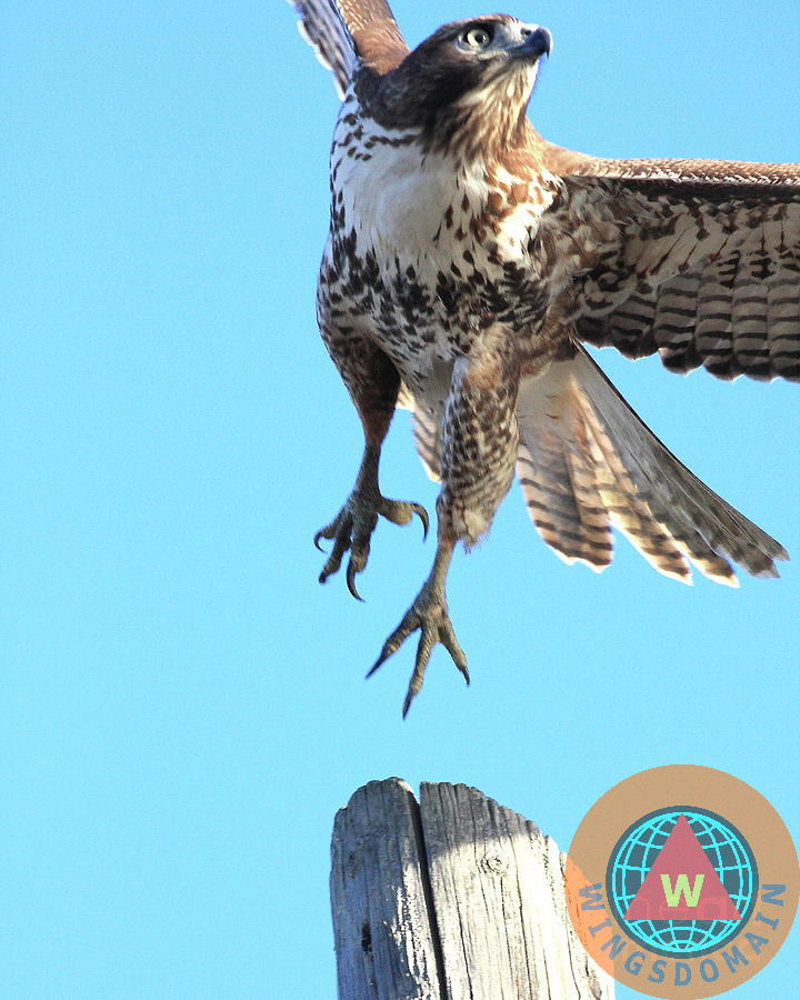 red tail hawk, animals, hawk, flying hawk, red-tailed hawk, red tailed hawk, wildlife, bird in flight, bird, avian, rth, flying hawks, raptor, hawk bird, hawk birds, hawks, bif, wing tong, wingsdomain, wings domain