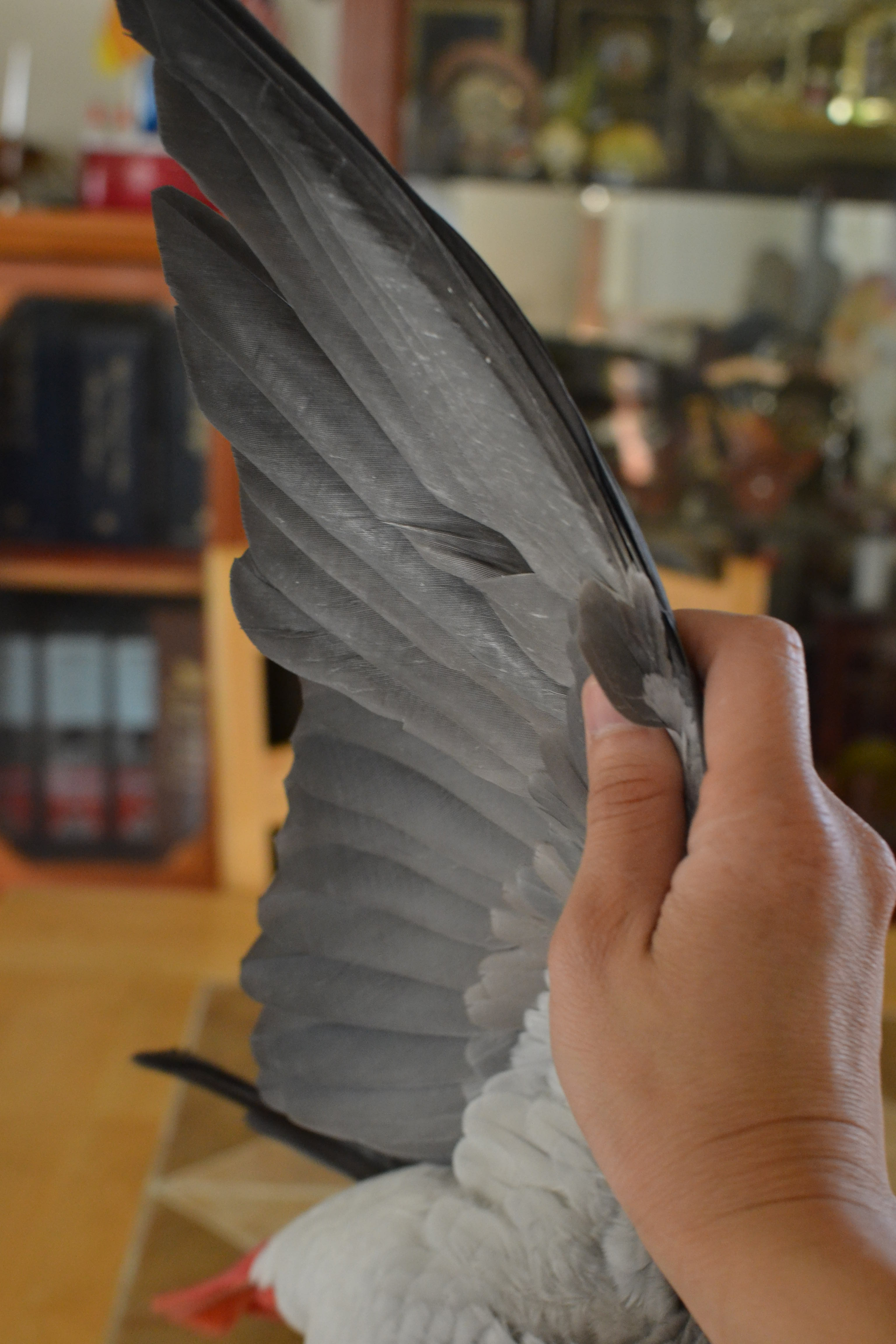 Wing Clipping Birds Parrots African Grey
