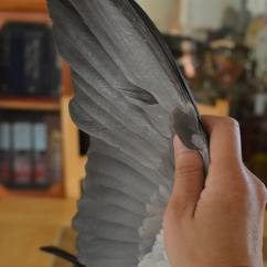 Clipping Duck Wings Diagram Dump Trailer Wiring Wing Birds Parrots African Grey Wingsnpaws