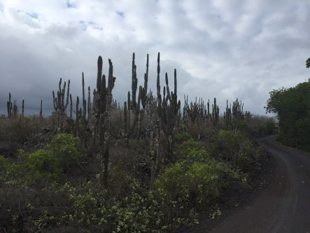 A colony of jasminocerous cacti on Isla Isabela in the Galapagos Islands.