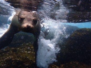 A playful sea lion splashes the water in front of snorkelers off the coast of Isla Santa Cruz. He did this again and again.