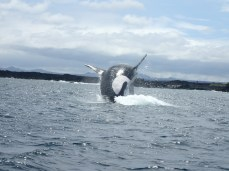 An orca breaching off of the western coast of Isla Isabela. Easily one of the most breathtaking moments of the trip.