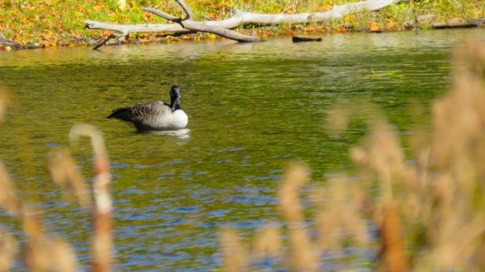 Duck on Lac Hertel, Mont Saint Hilaire, Quebec