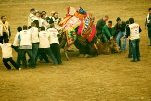 Camello derrotado
