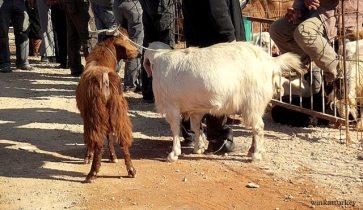 Cabras compradas por una familia