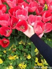 Tamaño de los tulipanes