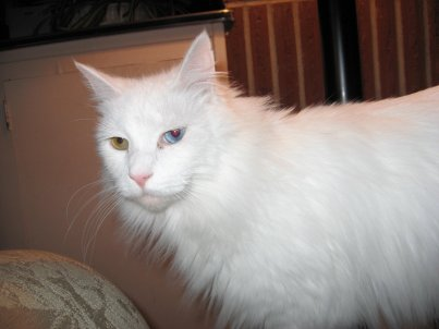 Gato de angora