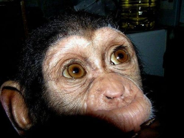 Orphaned Baby Chimpanzee Gets Adopted by Dog - This baby chimp with big brown eyes didn't have a mother but was taken in by a zookeeper.
