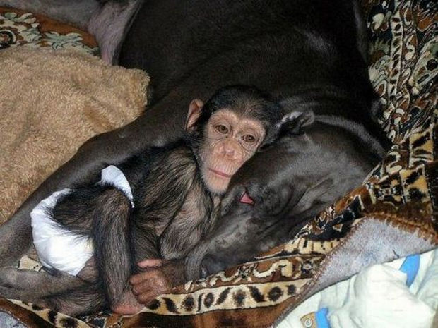 Orphaned Baby Chimpanzee Gets Adopted by Dog - The Mastiff would soon treat the chimp like her child.