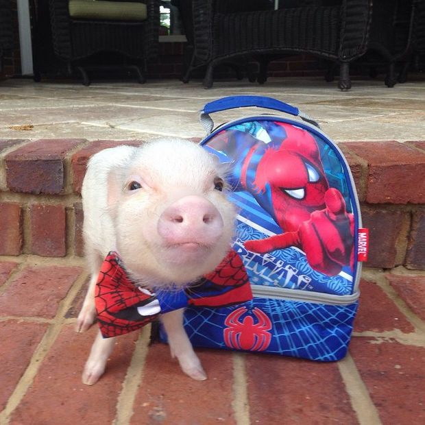 Cute Mini Pigs Priscilla and Poppleton - Poppleton is stylin' with his Spiderman tie and duffle bag.