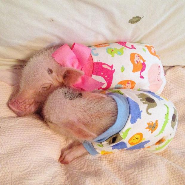 Cute Mini Pigs Priscilla and Poppleton - Sweet dreams! Do mini pigs count sheep to fall asleep?