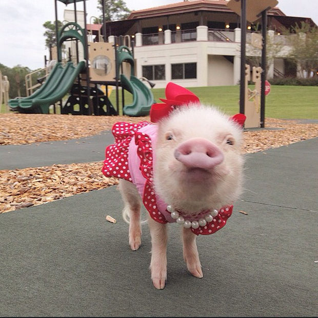 """Cute Mini Pigs Priscilla and Poppleton - """"Quick, take a picture because I have to go. That slide behind me is screaming my name..."""""""