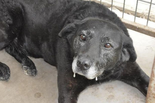 Lady, a grey-faced lab that had a traumatic life was placed in a shelter in 2012 because her owner died. After this poor lab walks 30 miles back home, she was driven back to the shelter.