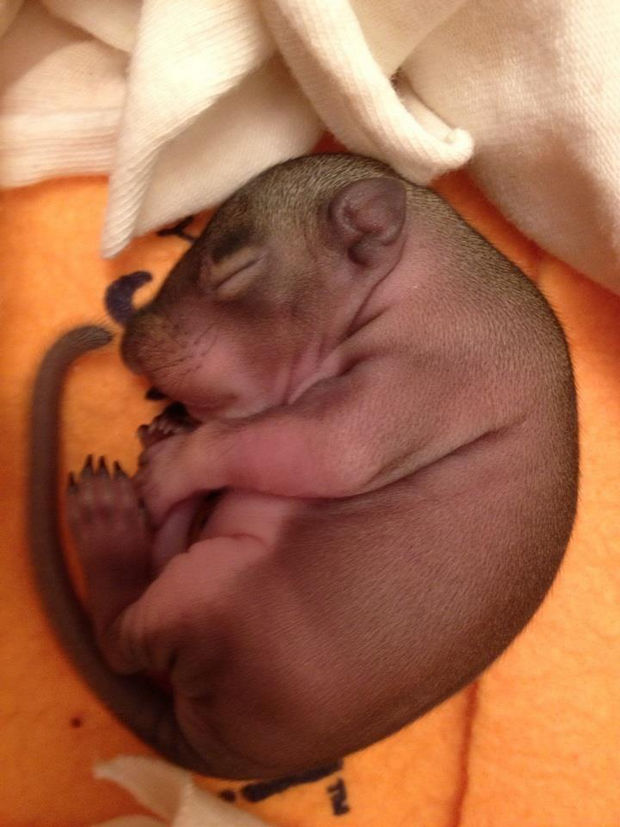 Baby Squirrel Found in Bag of Mulch - Day 3: force feeding Zip to help him grow strong and healthy.