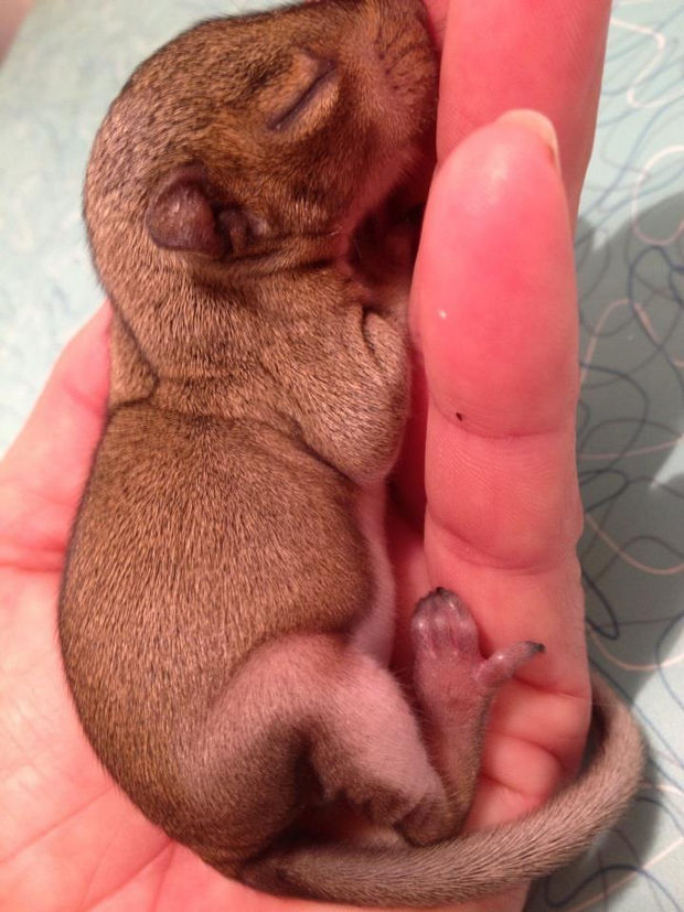 Baby Squirrel Found in Bag of Mulch - 2 weeks: Eating like a champ and growing nicely.