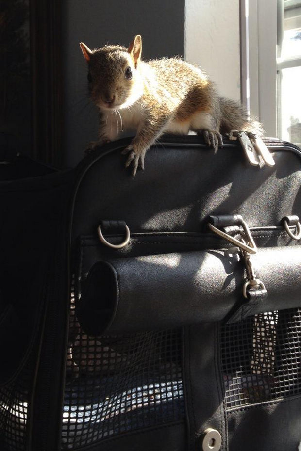 Baby Squirrel Found in Bag of Mulch - Zip is happy as ever and so thankful to the Florida man who found him in the bag of mulch and helped him grow up into a playful and healthy squirrel.