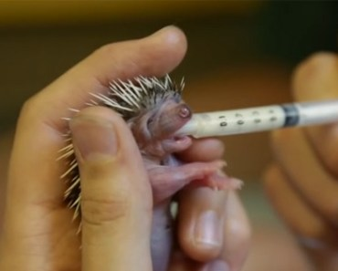 Baby Hedgehog Is Only Days Old but He's Super Hungry