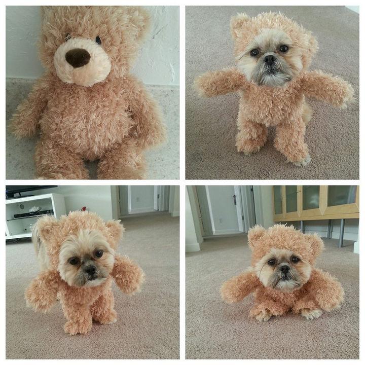 Munchkin the Shih Tzu Dressed as a Teddy Bear.
