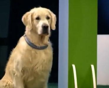 Funny Golden Retriever Fails Agility Test on Finnish TV Show.