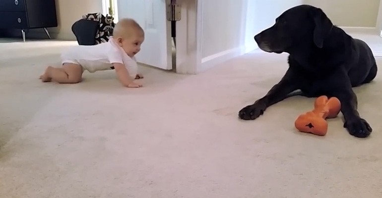 Crawling baby gets a dog kiss from her lab.