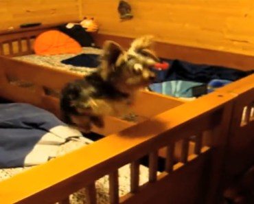 Yorkie Jumps between Beds like a Trampoline for a Hamster.