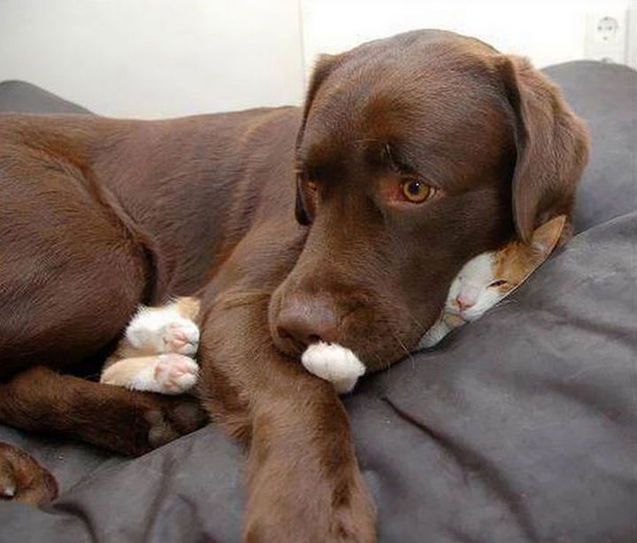 24 Cats Asleep in a State of Bliss - This kitty likes to wear a Lab coat to bed.