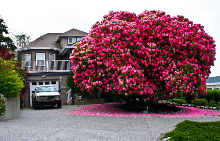 "17 Pictures of the Prettiest Trees on Earth - 125+ Year Old Rhododendron ""Tree"" In Canada."