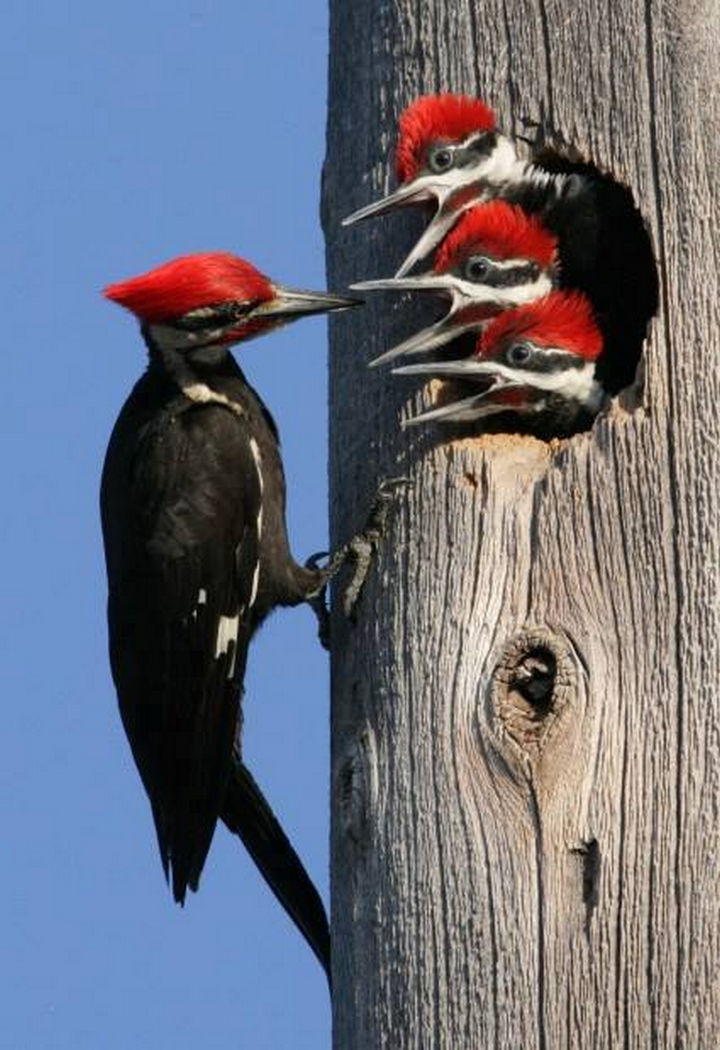 20 Beautiful Images Showing an Animal's Unconditional Love - Woodpecker feeding its babies.