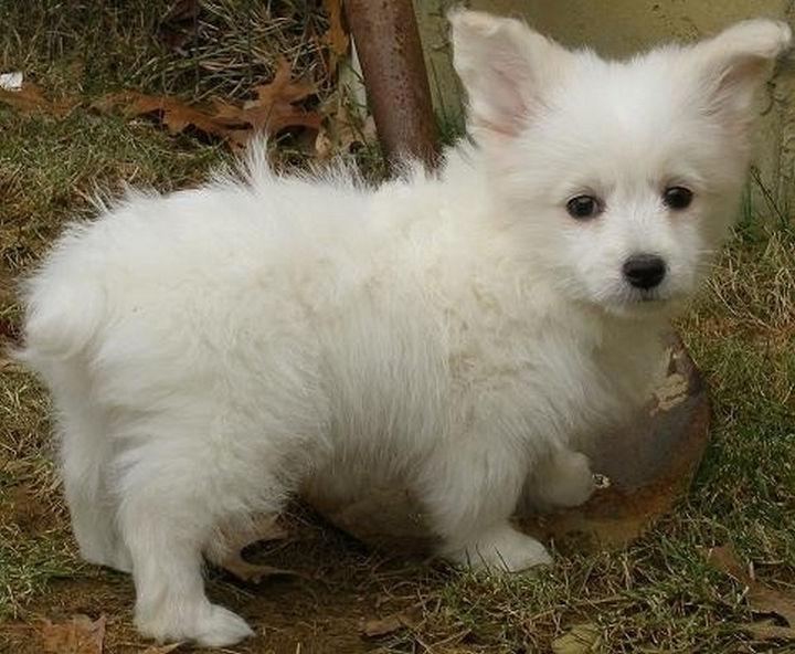 21 Mixed Breed Dogs: Corgi + Toy Poodle = Corgipoo