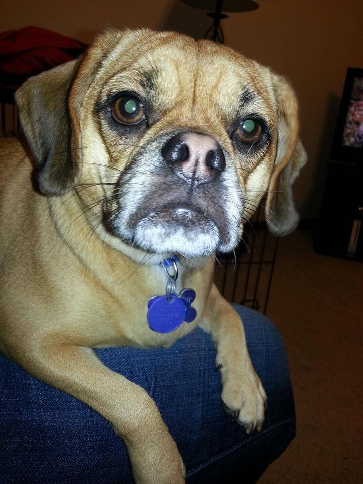 21 Mixed Breed Dogs: Pug + Beagle = Puggle