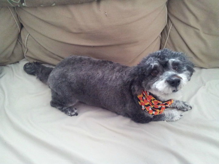 21 Mixed Breed Dogs: Poodle + Schnauzer = Schnoodle