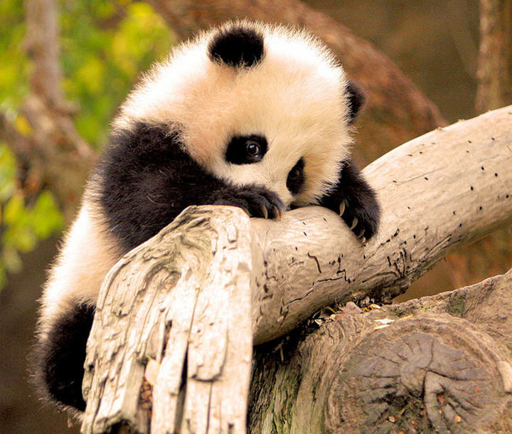 29 Tiny Baby Animals - Friendly baby panda.