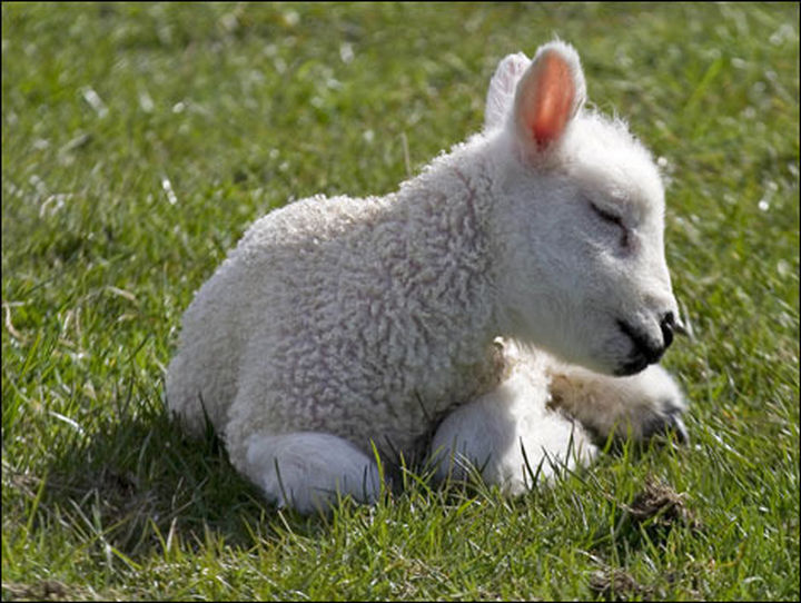 29 Tiny Baby Animals - Adorable baby lamb.