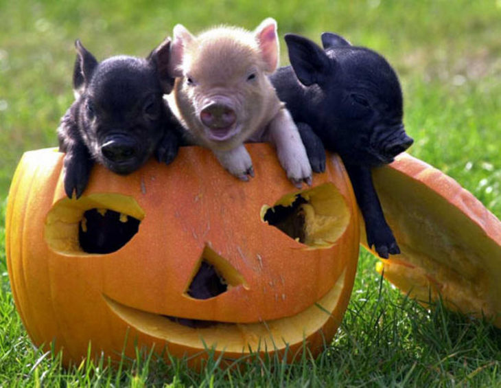 22 mini pigs - Mini pigs make any occasion or holiday even more special.