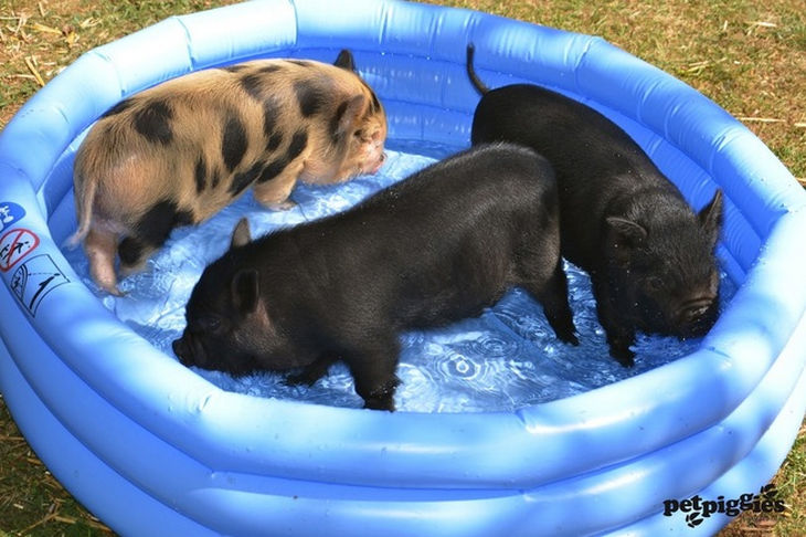 22 mini pigs - They love pool parties.