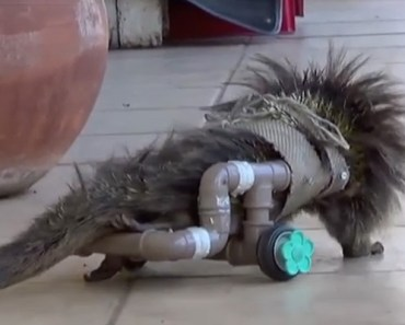 Zookeepers Were to Put This Porcupine to Sleep but an Idea Saved Its Life.