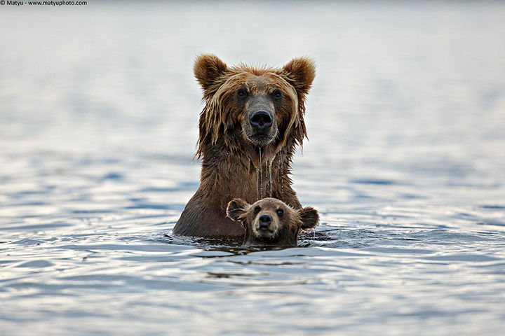 21 Animals and Their Young - A grizzly bear swimming with her cub.